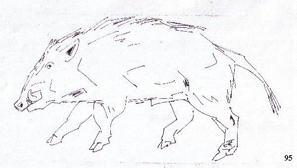 tekening everzwijn